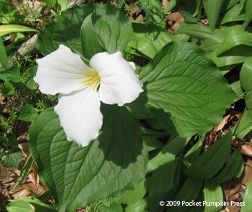 Z hub wildflowers of sw michigan white trillium spring woodland wildflower michigan mightylinksfo